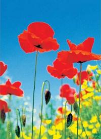 Poppy Field - Wall Mural